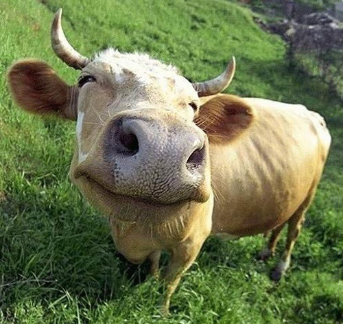 smiling_cow